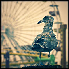 The bird and the ferris wheel (manganite) Tags: ocean california park sea summer sky usa color nature topf25 birds animals wheel digital america dark square geotagged la pier losangeles big xpro topf50 nikon colorful dof seasons pacific cloudy bokeh tl framed santamonica seagull gulls ferris d200 nikko