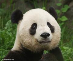 boo boo (somesai) Tags: animal animals smithsonian panda endangered giantpanda pandas giantpandas
