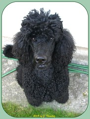 Hello (darleen2902) Tags: black royal poodle standardpoodle caniche darleen