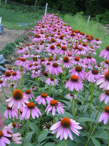 Ecchinacea flowers