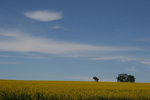 yellow fields4