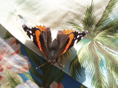 Butterfly on Hawaiian Shirt