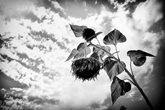 Weathering Away... (SonOfJordan) Tags: sky blackandwhite bw flower nature clouds canon blackwhite aperture mood noiretblanc amman jordan blackdiamond xsi 450d  goldstaraward samawi 450ddigital sonofjordan shadisamawi  wwwshadisamawicom