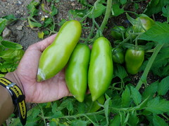 Unripe Roma Tomatoes