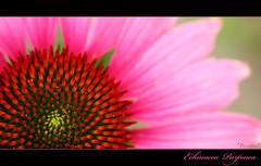 "Echinacea Purpurea (*Chris"")) Tags: pink flower echinacea bloem achtertuin purpur purpurea echinaceapurpurea blueribbonwinner rodezonnehoed colorphotoaward pinkforthecure"