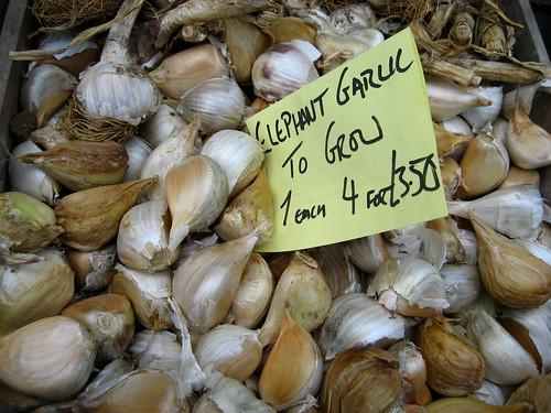 Elephant garlic to grow