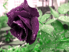 Purple Rose! (konstelacioni fantastik) Tags: color water rain rose drops backyard purple purplerose