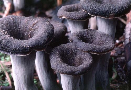 грибы лисички от паразитов