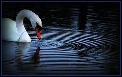 Ripples (Robert Myer) Tags: water swan ripples naturelovers naturelover nikond40 fllickrlover