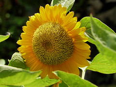 Look on the sunny side of life (Bn) Tags: flower sunshine flora yellowflower sunflower dreamworld asteraceae zonnebloem familyasteraceae amazingthailand helianthusannuus naturefinest genushelianthus composietenfamilie sunnysideonlife
