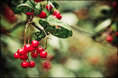 Cherries or not cherries, this is the dilemma! (manlio_k) Tags: flowers light scotland edinburgh honeymoon dof bokeh botanicalgarden manlio castagna manliocastagna manliok