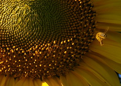 Flying in a ray of light (raffaphoto) Tags: flowers summer macro bee sunflowers raffaella naturesfinest supershot abigfave impressedbeauty theunforgettablepictures boiadh