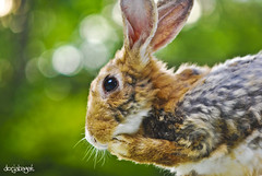 wee wabbit (docjabagat) Tags: rabbit bunny zoo hare bokeh picturesque mywinners cebucityzoo