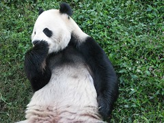 'Scuse Me! -  234 (RoxandaBear) Tags: morning grass tongue paw october panda sunday tian giantpanda licking tiantian pads yard2 101208