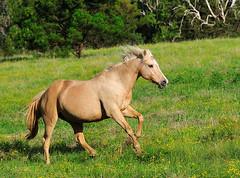 [フリー画像] [動物写真] [哺乳類] [馬/ウマ]        [フリー素材]