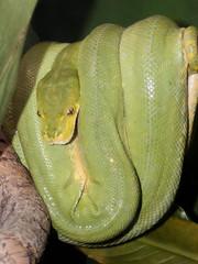 Green Tree Python (Gary Burke.) Tags: nyc newyorkcity ny newyork green animal zoo reptile snake bronx bronxzoo python greentreepython garyburke