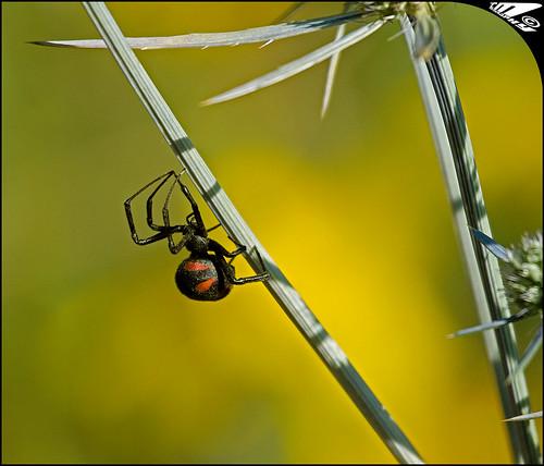 Latrodectus mactans tredecimguttatus aka Mediterranean Black Widow ...