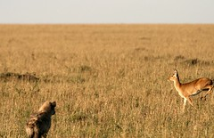 Bushbuck and Spotted Hyena in Masai Mara (Saran Vaid) Tags: africa wild portrait male nature beautiful beauty animal pose fur mammal bush kill kenya expression wildlife coat horns reserve sigma safari mara antelope savannah prey elegant buck creature habitat herd masai hyena spotting animalkingdom hunt bornfree savanna sighting masaimara kenyasafari riftvalley sprinting bushbuck naturesfinest spottedhyena masaimaranationalreserve tragelaphusscriptus grazers canoneos400d masaimaranationalpark sigma170500mm ourplanet livingfree sigma170500mmf563dgapo