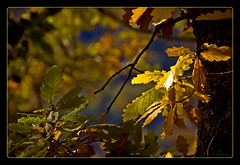 Luces de otoo (shardox) Tags: autumn trees espaa leaves hojas leaf spain rboles branches autumncolors otoo pyrenees vielha pirineos lleida pirineo ramas viella valdaran embrujo lrida colorphotoaward aplusphoto colourartaward