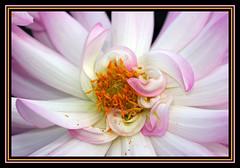 Au coeur d'un dahlia (Kalido) Tags: flowers france macro nature digital fleurs flora canoneos10d details jardin canonef100mmf28macrousm mandalalight sensationalphoto