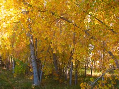 Golden Woods (Nature_Deb) Tags: autumn trees color fall nature leaves yellow rockies woods colorado foliage loveland cottonwoods landsape