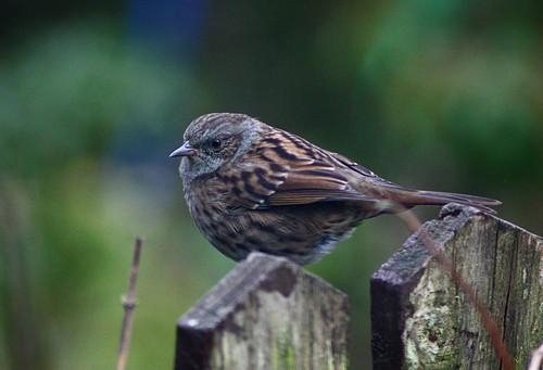 Sparrow in our garden