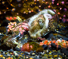 Octopus Inside A Bottle (julesnene) Tags: travel eye nature oregon canon aquarium bottle newport octopus oregoncoast oregoncoastaquarium 50d cephalopoda octopoda octopusvulgaris canoneos50d octopuseye julesnene bottledoctopus octopusinsideabottle