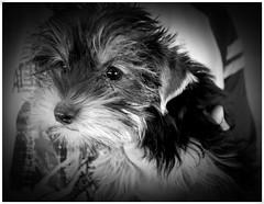 pekeo adorable perro patada (Disorderlau) Tags: adorable perro patada pekeo