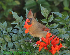 Northern Cardinal female (Cardinalis cardinalis) (Paul Hueber) Tags: flower bird nature animal canon cardinal florida wildlife aves handheld honeysuckle 75300 cardinaliscardinalis seminolecounty altamontesprings northerncardinal capehoneysuckle tecomariacapensis featheryfriday slbfeeding