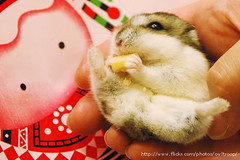 Looks yammy (EricFlickr) Tags: pet pets cute look animal animals hands taiwan eat hamster hammy