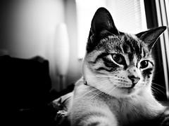 ... (vitalik_mas) Tags: california bw cats white black animal animals female cat feline fresno felines clovis adopted adoption      vitalikmas
