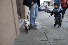 Leonardo the Lamb Comes to Noe Valley (doglington) Tags: sanfrancisco raw lamb leonardo noevalley 24thstreet signofspring barbadosblackbellysheep