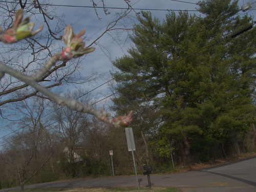 Crabapple and White Pines, with Utility Wires