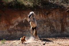 Cambalache- Duna (Carmen Lario) Tags: horse dog caballo interestingness perro duna sharpei par cambalache interestingness27 carmenlario specialpicture theunforgettablepictures goldstaraward vosplusbellesphotos dragondaggerphoto explore8sep09