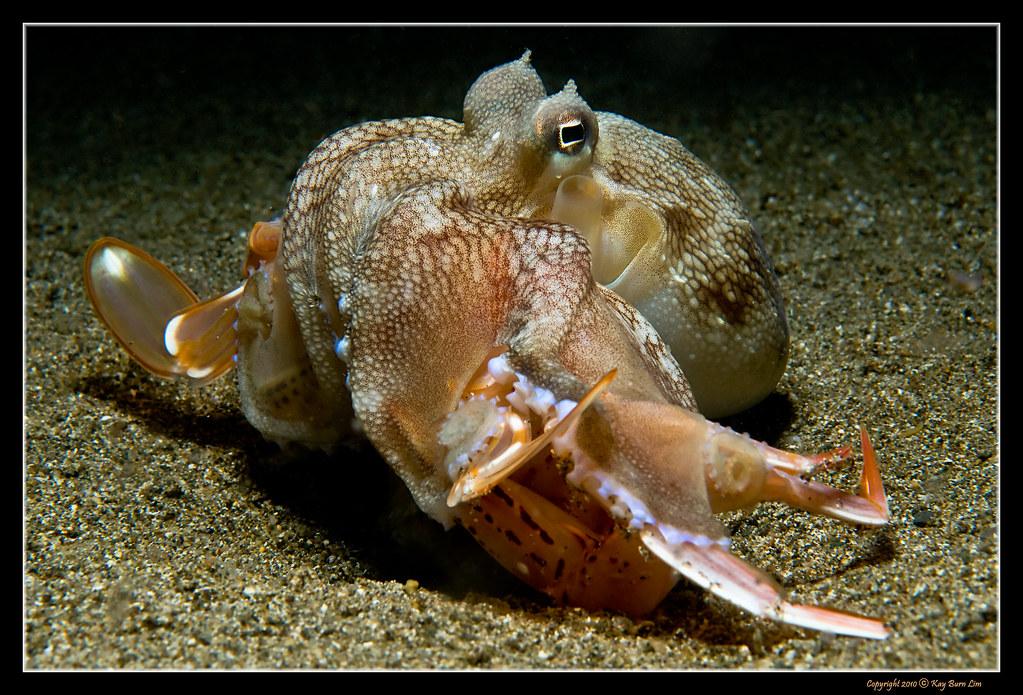 осьминог который ловит крабов