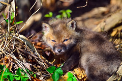 Red Fox Kit (Brian E Kushner) Tags: red baby bird nature water animals de ed mammal nikon babies wildlife brian birding landing national e fox bombay kits kit delaware hook nikkor f4 whitehall smyrna vr afs refuge vulpesvulpes f4g delware 600mm nikor smryna bombayhooknationalwildliferefuge afsnikkor600mmf4gedvr redfoxkits d7000 vrafs bkushner brianekushner whitehallcrossroads nikond7000 kushnernikon nikon600mmf4afsvr bombaynwr nwrsmyrnadedelawarenikond7000nikon d7000naturebkushnerwildlifeanimals whitehalllandingde