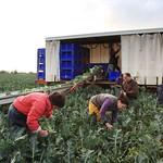 Brocoli BIO Récolte à Pleumeur Gautier