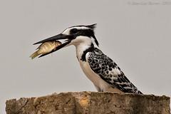 Pied Kingfisher (Ceryle rudis) (Jeluba) Tags: africa bird nature canon wildlife aves prey benin ornithology birdwatching oiseau cotonou piedkingfisher cerylerudis martinpêcheur thewildlife graufischer goldwildlife alcyonpie amazingwildlifephotography peregrino27life