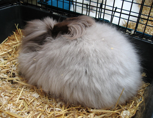 Toblerone the Angora bunny