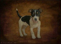 Molly (Lensational) Tags: portrait pets cute art texture dogs animal shop canon painting jack 350d rebel xt paint russell canvas pro layers paintshoppro aged lensational