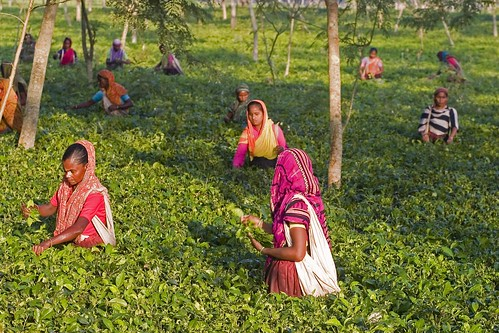 Picking Tea at the Tetulia Tea Garden