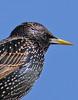 Startled (Mr Grimesdale) Tags: bird wildlife sony starling gardenbirds wildbirds mrgrimsdale stevewallace dsch2 photofaceoffwinner pfogold mrgrimesdale grimesdale