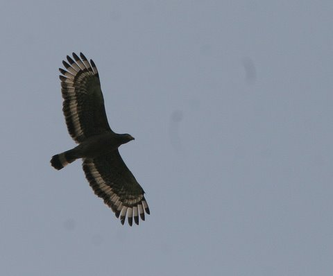 crested serpent eagle in flight 050408