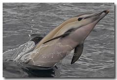 Delphinus delphis (PedroMadruga) Tags: ocean sea wild mammal wildlife pico d200 azores aores golfinho cetaceo cetacean tonina openocean toninha specnature pedromadruga southofpico golfinhocomum toninhamansa suldopico