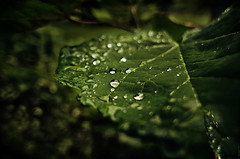 Tears and Rain (.Bradi.) Tags: macro green water rain droplets leaf textures veins begladyoucanthearme tinybokehdrops ivebeenhummingthetunesofthreedifferentsongssinceiwokeupthismorning