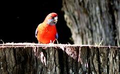 Crimson Rosella (di off the wallaby) Tags: australianbird natureselegantshots crimsonrosellaspringbrooknationalpark