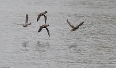 S Q U A D in formation (Luc Deveault) Tags: wild canada bird animal duck pond eau quebec action reflet qubec luc takeoff oiseau canard tang sauvage flyning deveault encvol lucdeveault