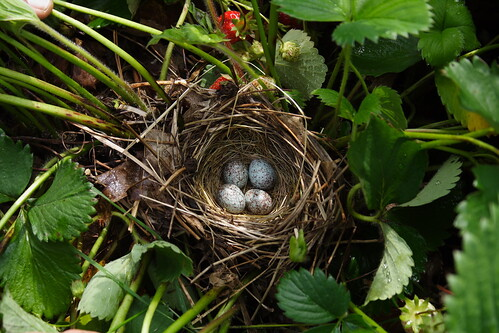 Bird Nest in the Strawberries