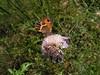 Mariposa sobre Scabiosa maritima (esta_ahi) Tags: barcelona españa insectos fauna butterfly spain flora lepidoptera mariposa penedès papallona nymphalidae satyrinae dipsacaceae ordal pyroniabathseba испания scabiosamaritima maniolini