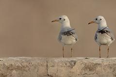 --  (N-S-S) Tags: bird birds nikon sigma kuwait nikkor  nasser 800mm  nss    vwc          kvwc   alsolihem